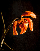 Withered Tulip