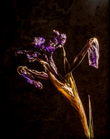 Withered Iris